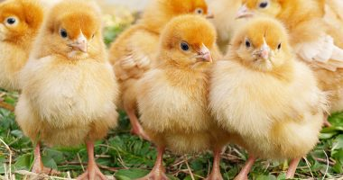 These chickens cost too much — Inghams drops 19.8 per cent