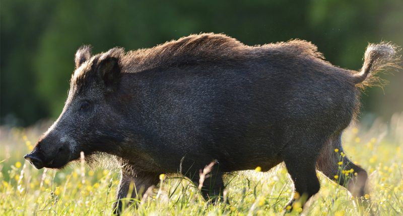 Zoono's success with treatment of African Swine Fever