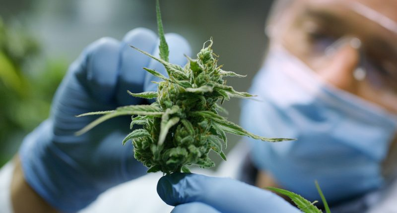 RotoGro International (ASX:RGI) client Oakum harvest its first cannabis crop
