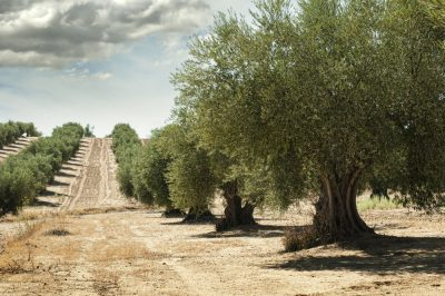 Top 5 Destinations For the World's Best Olive Oil