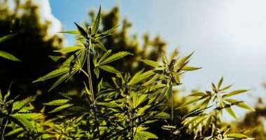 Cann Global (ASX:CGB) shares on the rise after Thailand's hemp rules change