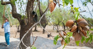 Select Harvests (ASX:SHV) posts positive almond outlook despite flood delays